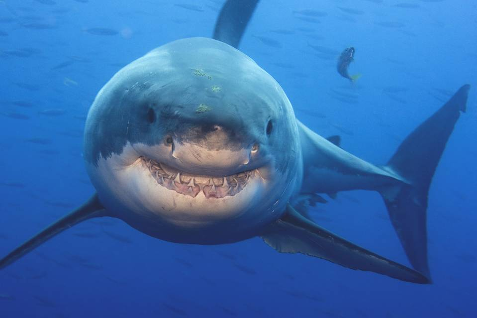 A great white shark near Guadalupe Island, Mexico, October 2009 | Wall Street Journal
