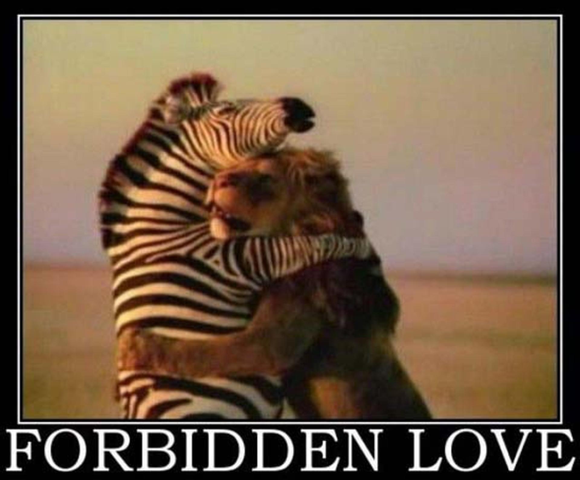 forbidden love between zebra and lion
